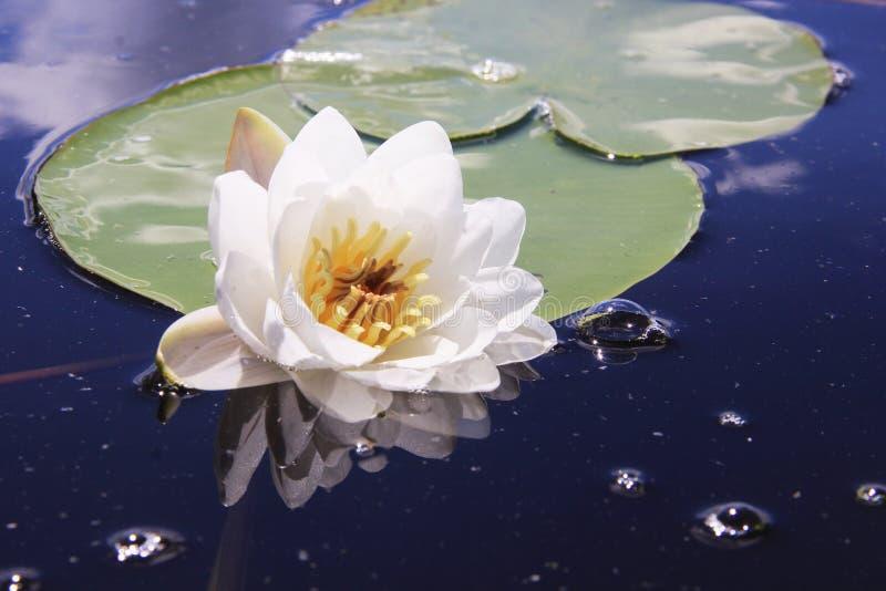 Fiore bianco che galleggia nel lago fotografie stock libere da diritti