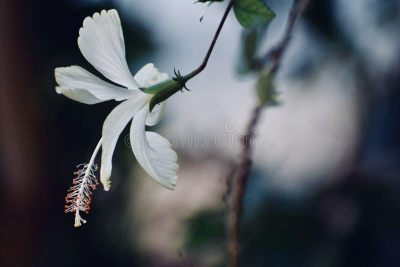 Fiore bianco che guarda per esporre al sole fotografie stock