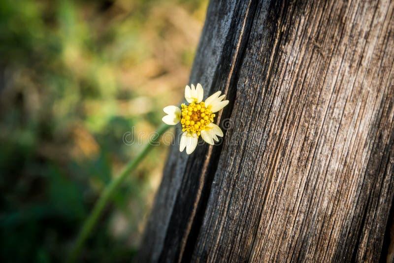 Fiore bianco con il grande albero fotografia stock libera da diritti