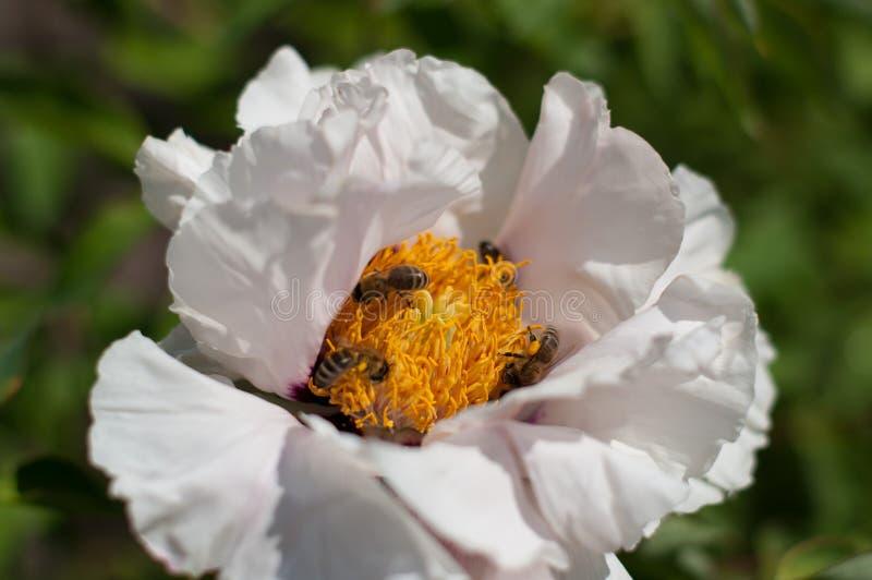 Fiore bianco con le api dentro il polline della riunione immagine stock
