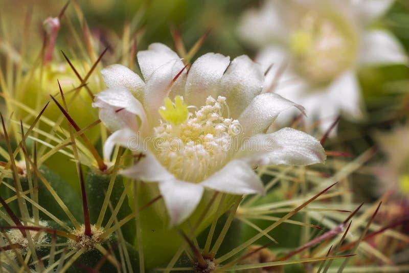 Fiore bianco del cactus fotografia stock libera da diritti
