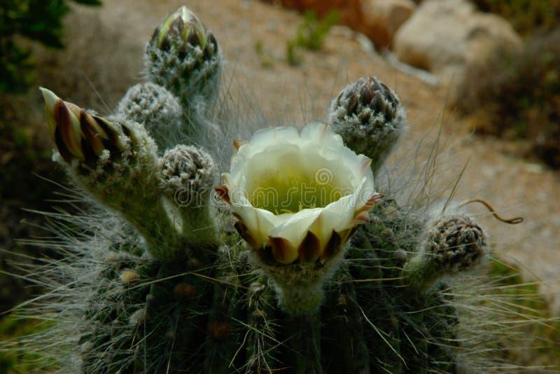 Fiore bianco del cactus ed alcuni germogli fotografia stock libera da diritti