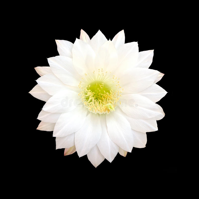 Fiore bianco del cactus isolato su fondo nero fotografia stock libera da diritti