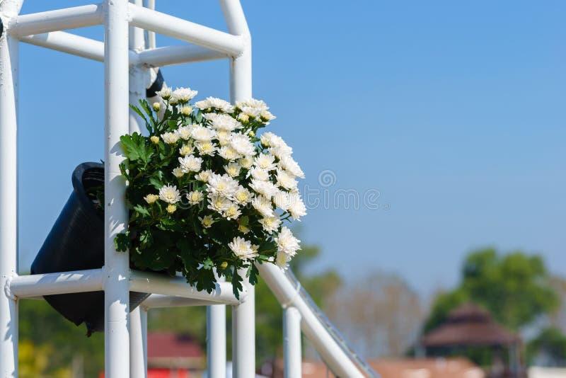 Fiore bianco del crisantemo in vaso immagini stock