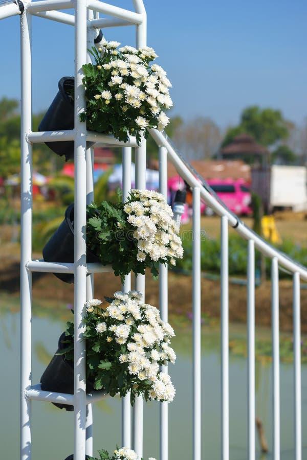 Fiore bianco del crisantemo in vaso immagine stock