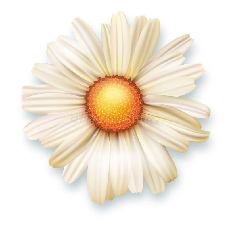 Fiore bianco del crisantemo, vista superiore Vector l'illustrazione 3D del primo piano aperto del germoglio di fiore isolato su f royalty illustrazione gratis
