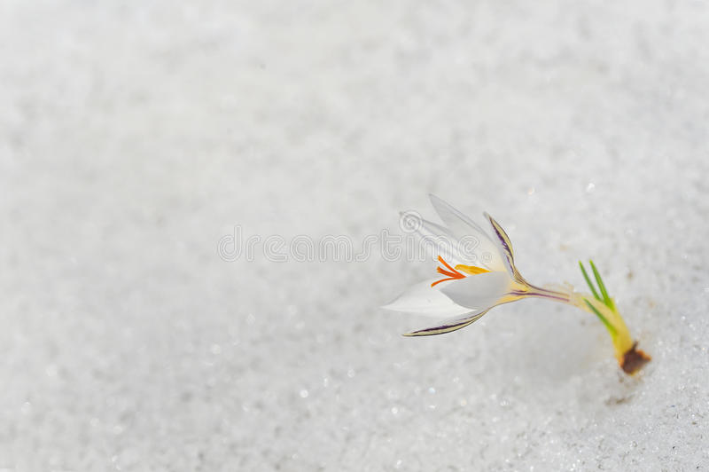 Fiore bianco del croco fotografia stock libera da diritti