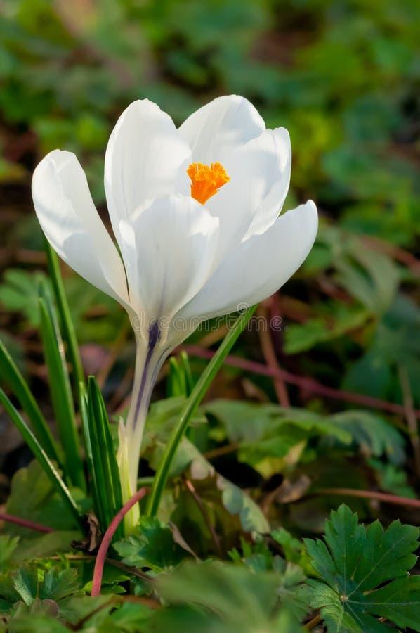 Fiore bianco del croco immagini stock libere da diritti