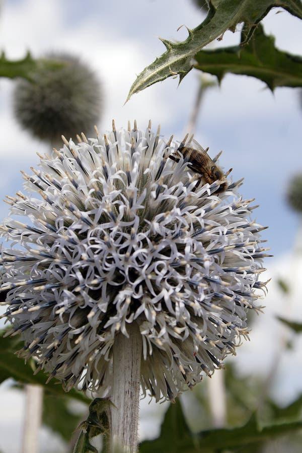 Fiore bianco del dente di leone con l'ape immagine stock