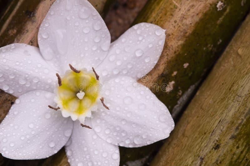 Fiore bianco del giglio del Amazon su legno di bambù immagine stock libera da diritti