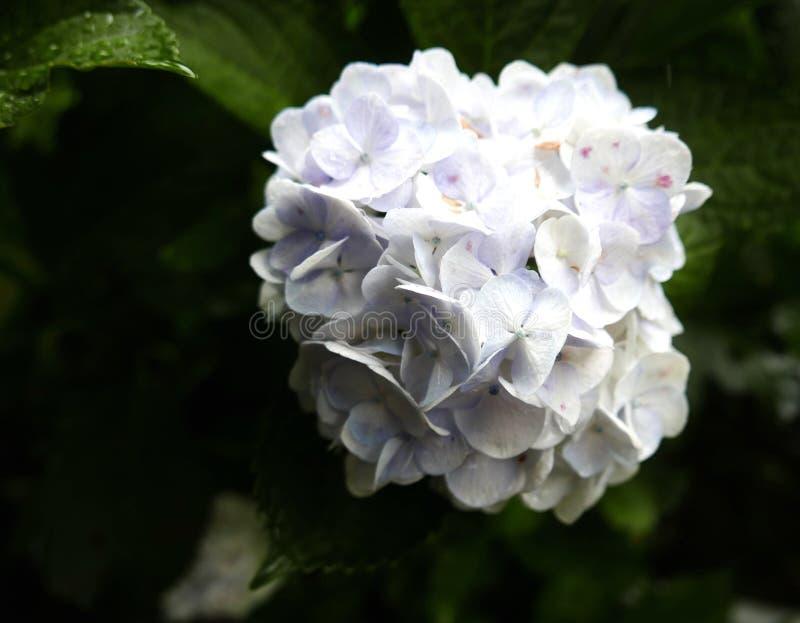 Fiore bianco del Hydrangea immagini stock
