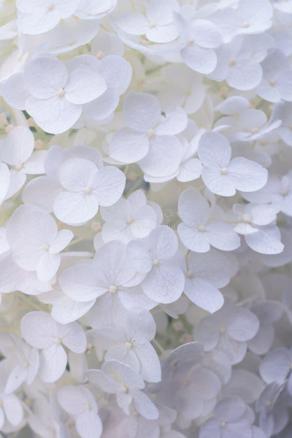 Fiore bianco del Hydrangea fotografia stock