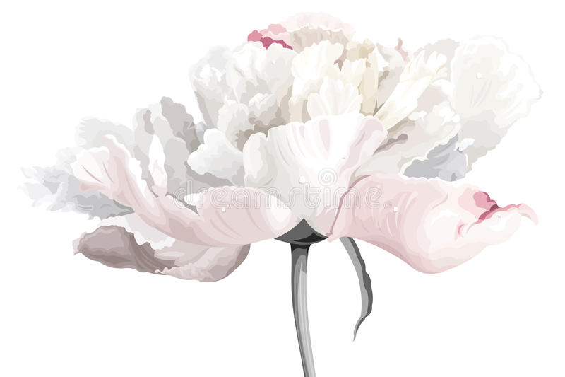 Fiore bianco del peony illustrazione vettoriale