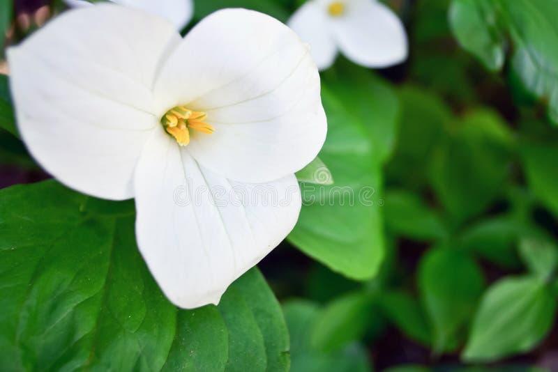 Fiore bianco del Trillium fotografia stock