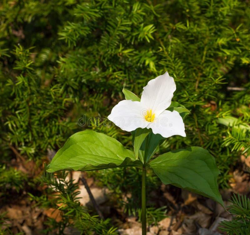 Fiore bianco del Trillium immagine stock