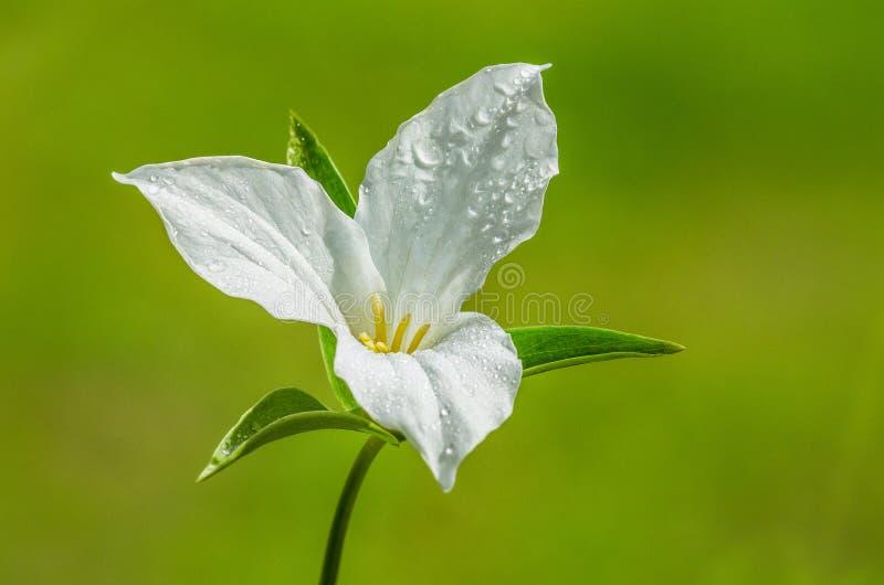 Fiore bianco del Trillium fotografia stock libera da diritti