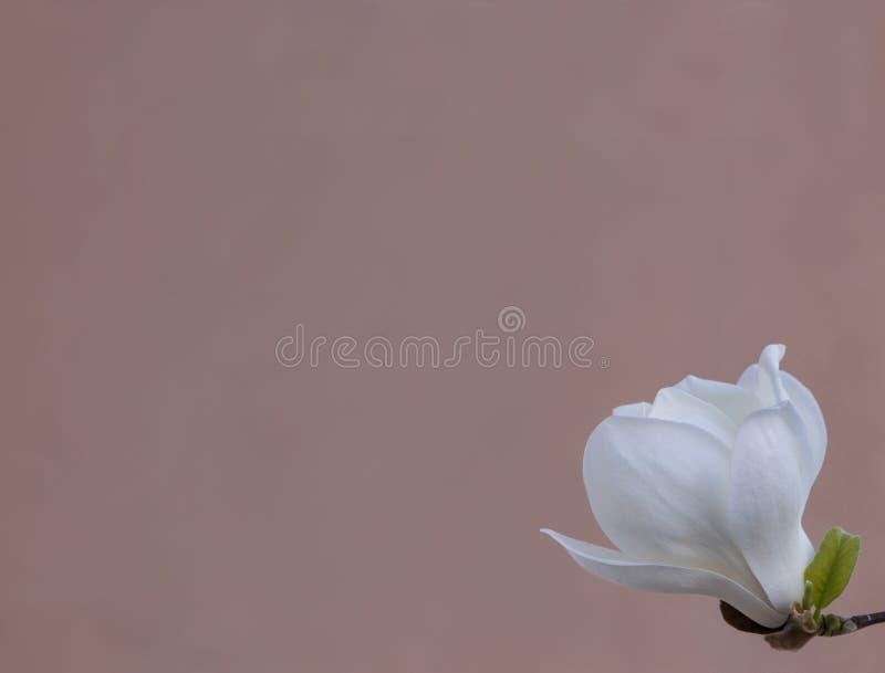 Fiore bianco delicato della magnolia per gli inviti di nozze, pubblicità, manifesti, segni ed altri grandi idee e concetti horizo fotografie stock