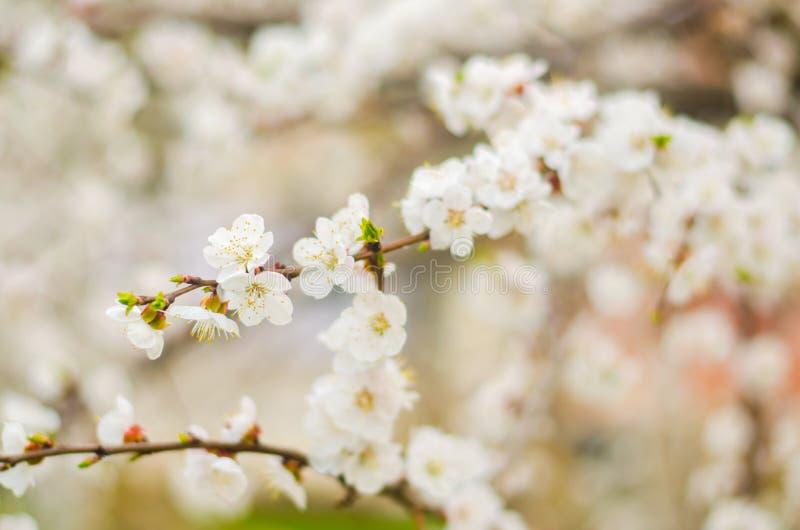 Fiore bianco dell'albicocca Germogli che fioriscono albero ad aprile Il concetto della molla Sfondo naturale Carta da parati per  fotografia stock