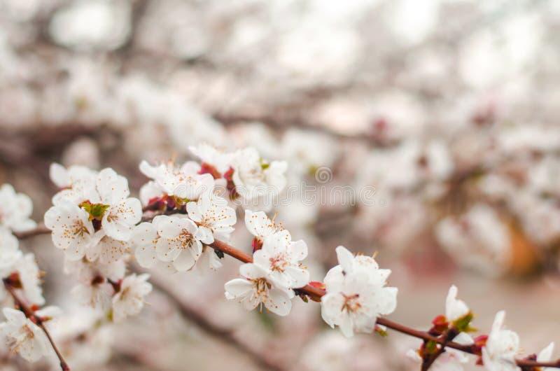 Fiore bianco dell'albicocca Germogli che fioriscono albero ad aprile Il concetto della molla Sfondo naturale Carta da parati per  fotografia stock libera da diritti