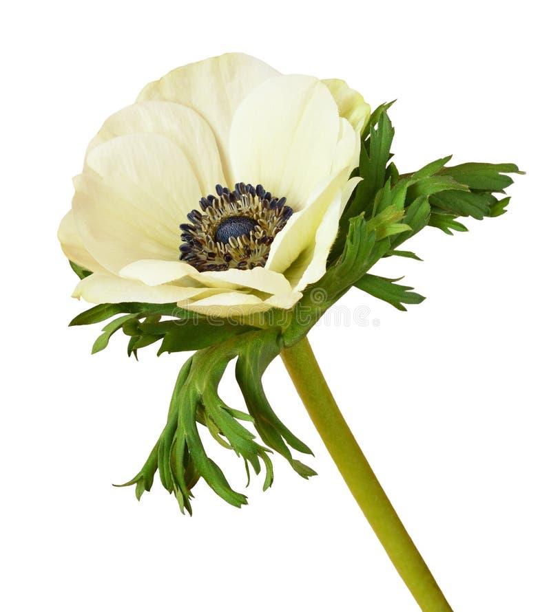 Fiore bianco dell'anemone fotografia stock libera da diritti