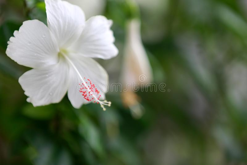 Fiore bianco dell'ibisco immagini stock libere da diritti