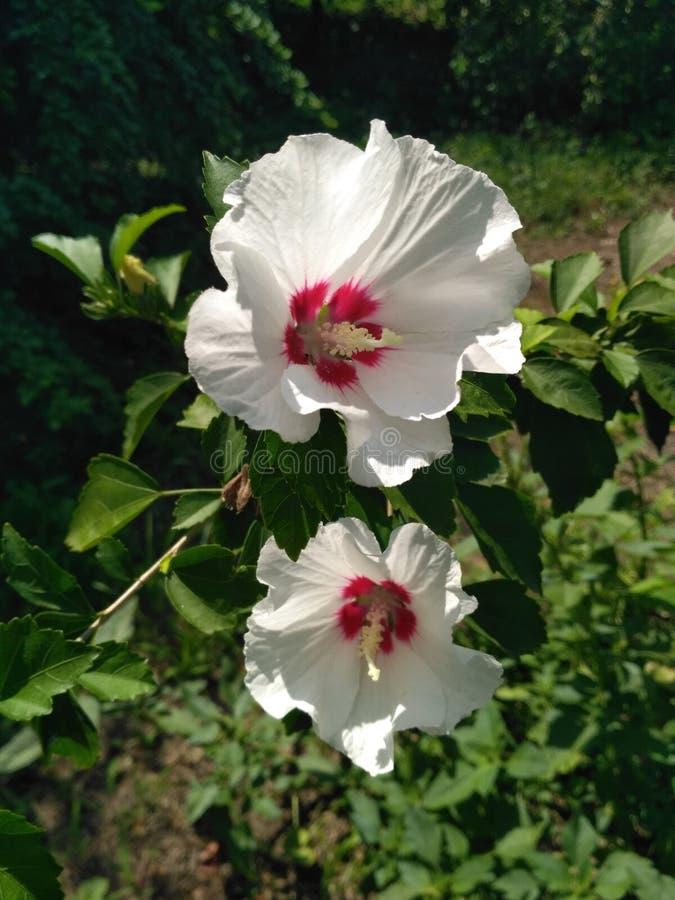 Fiore bianco dell'ibisco nel giardino Dettaglio dello stame fotografia stock