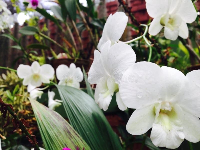 Fiore bianco dell'orchidea immagini stock