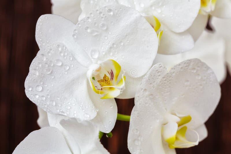 Fiore bianco dell'orchidea con le gocce su un fondo di legno, primo piano fotografia stock libera da diritti