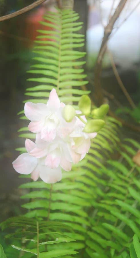 Fiore bianco dell'orchidea della sfuocatura molle sul fondo verde della foglia fotografia stock libera da diritti
