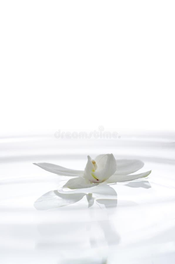 Fiore bianco dell 39 orchidea sull 39 acqua fotografia stock for Orchidea acqua