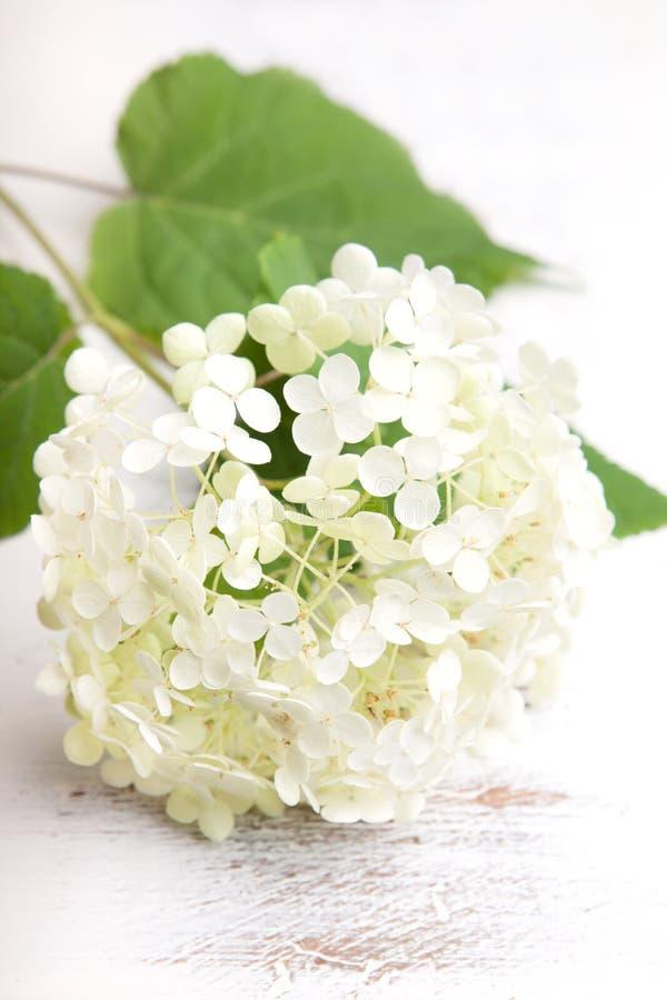 Fiore bianco dell'ortensia fotografie stock