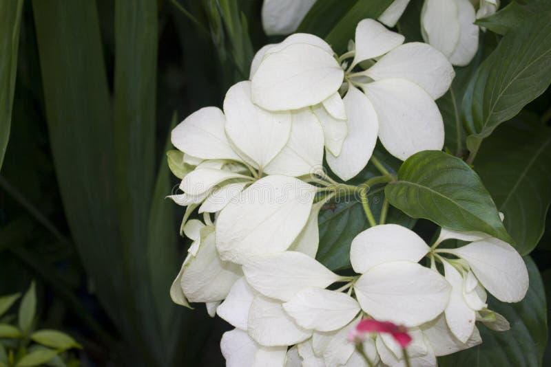 Fiore bianco dell'ortensia al giardino immagine stock