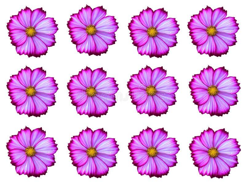 Fiore bianco dell'universo della miscela di rosa che fiorisce con l'allineamento della goccia di pioggia isolato su fondo bianco fotografia stock libera da diritti