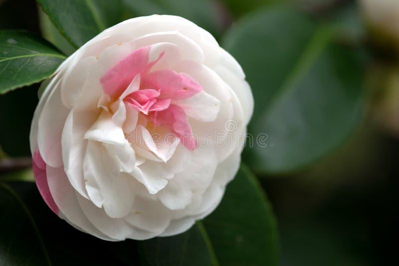 Fiore bianco della camelia fotografia stock
