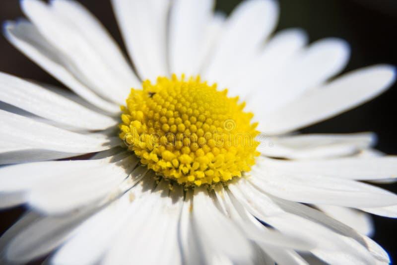 Fiore bianco della camomilla per le vostre idee creative fotografia stock libera da diritti