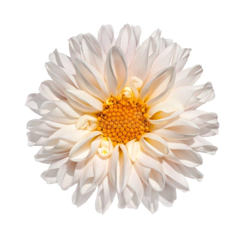 Fiore bianco della dalia con il centro giallo isolato immagine stock libera da diritti