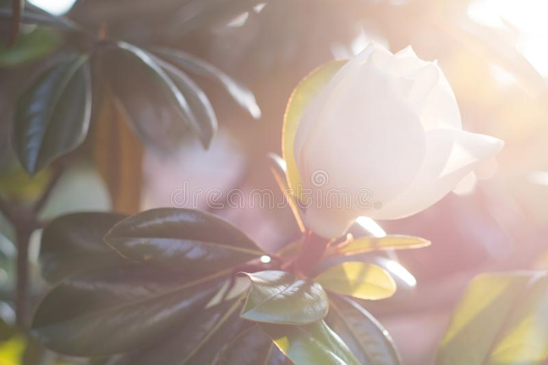 Fiore bianco della magnolia alla luce solare retroilluminata immagini stock libere da diritti