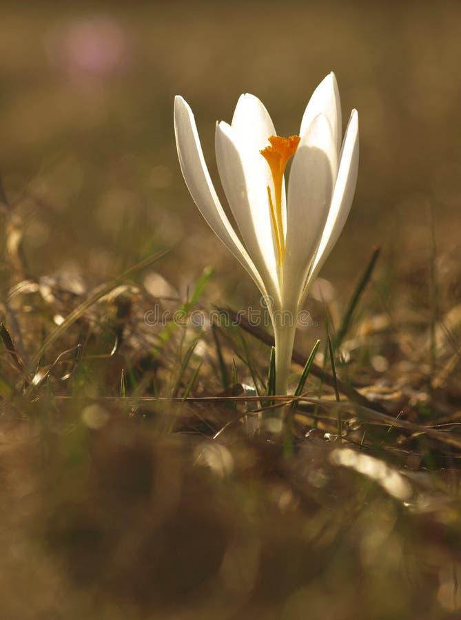 Fiore bianco della molla con le foglie verdi e riflessioni del sole e del gambo nel prato Croco di fioritura in un giardino domes fotografia stock libera da diritti