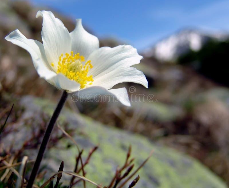 Fiore bianco della montagna fotografie stock libere da diritti