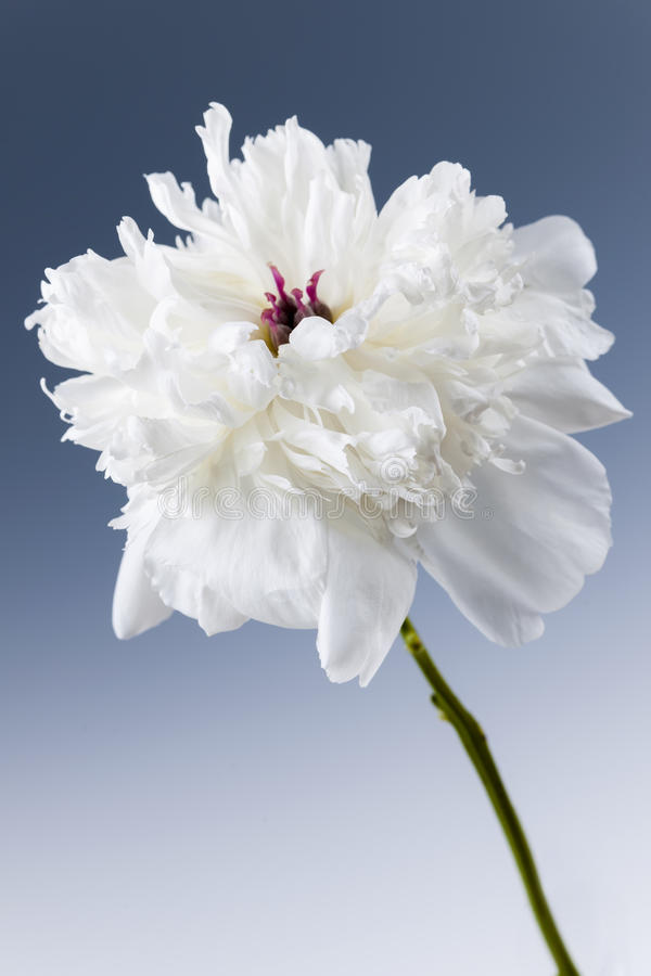 Fiore bianco della peonia immagine stock libera da diritti