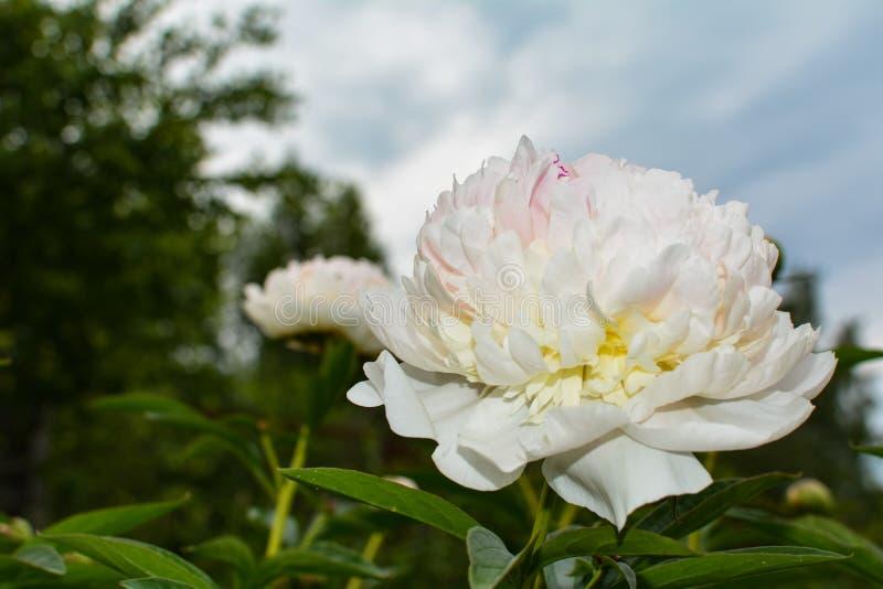 Fiore bianco della peonia contro il cielo fotografia stock libera da diritti