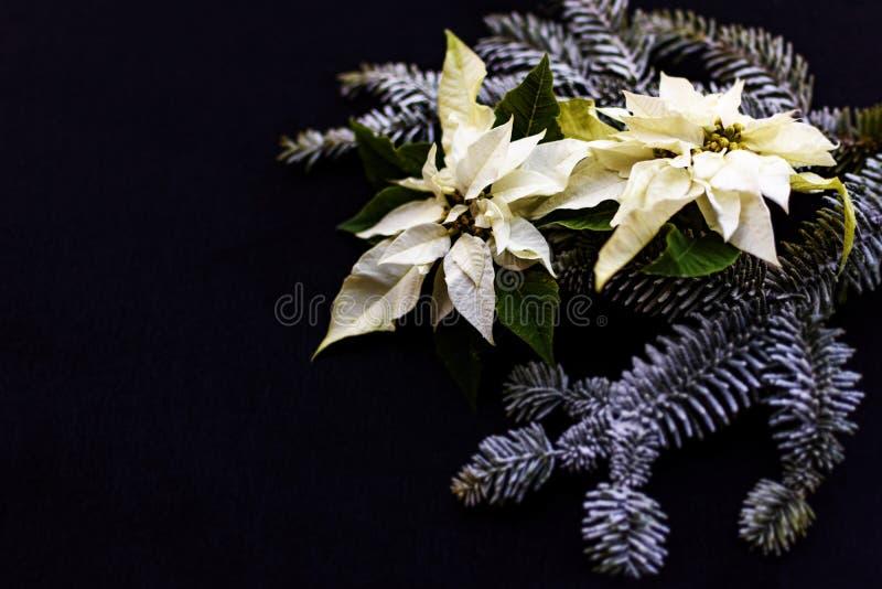 Fiore bianco della stella di Natale con l'albero di abete su fondo scuro Cartolina di Natale di saluti cartolina christmastime El fotografie stock libere da diritti