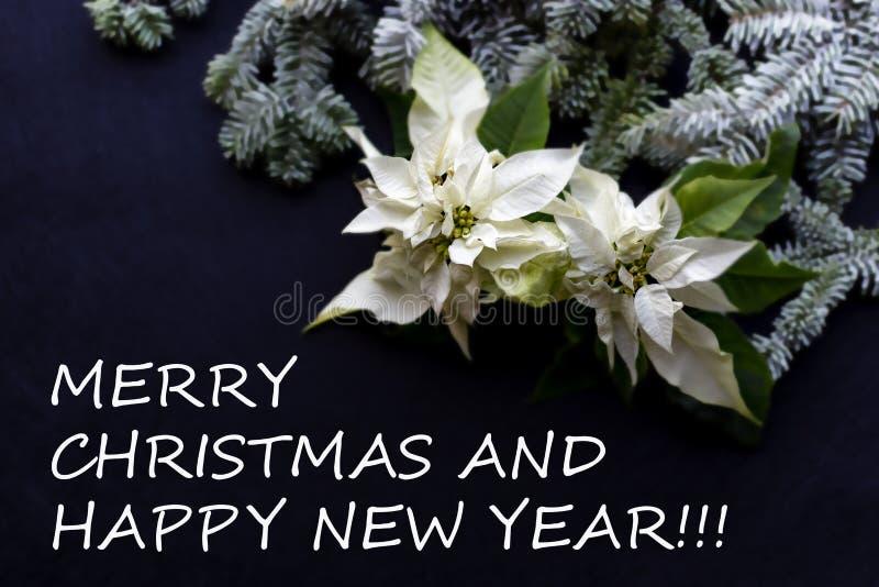 Fiore bianco della stella di Natale con l'albero di abete su fondo scuro Cartolina di Natale di saluti Cartolina elegante christm fotografia stock