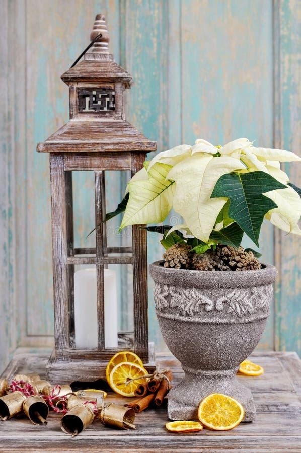 Fiore bianco della stella di Natale (euphorbia pulcherrima) immagini stock
