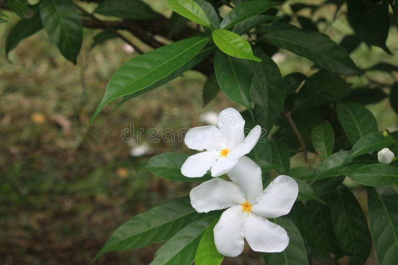 Fiore bianco della vinca fotografia stock