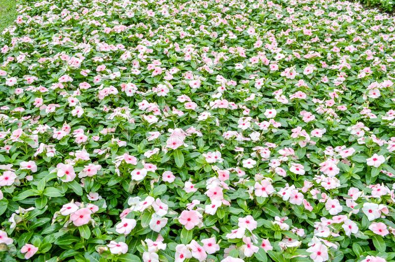 Fiore bianco di catharanthus roseus nel giardino della natura fotografia stock