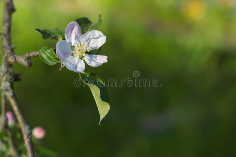 Fiore bianco di melo su un ramo e su un fondo verde fotografia stock libera da diritti