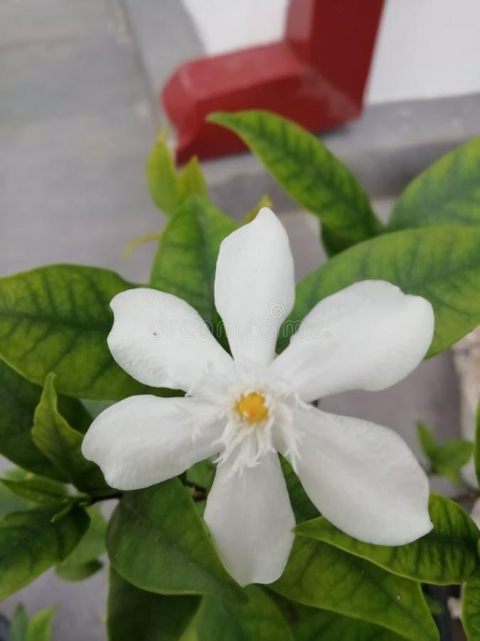 Fiore bianco di fotografie stock