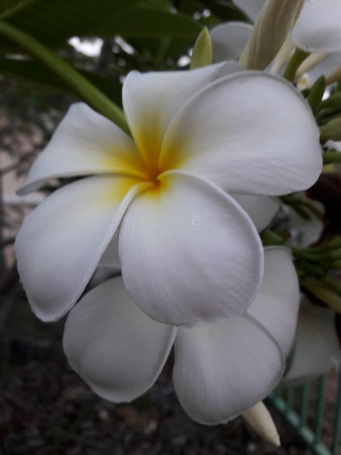 Fiore bianco dolce di plumeria immagine stock