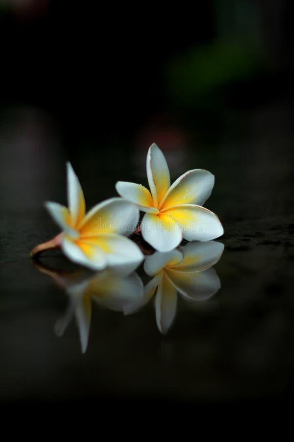 Fiore bianco due immagine stock libera da diritti